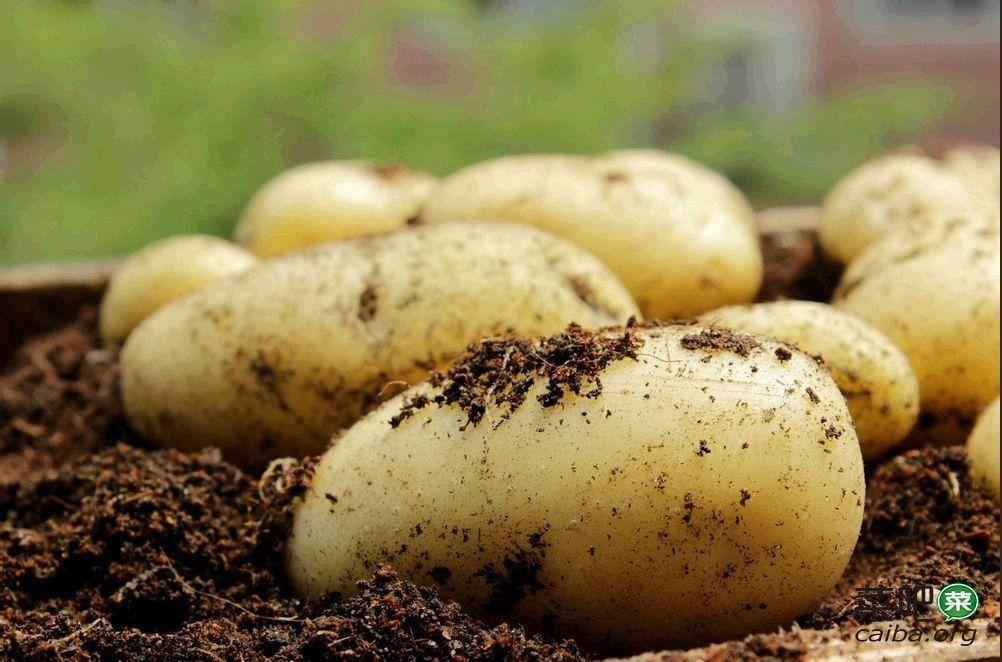 加快品种选育推进马铃薯产业开发