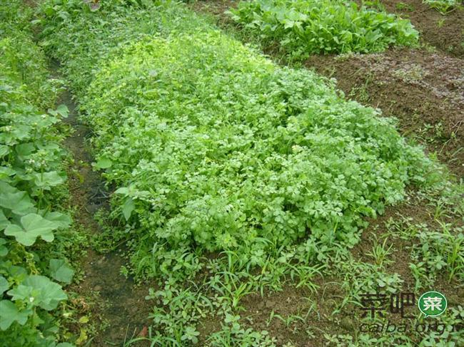 香菜反季栽培的田间管理