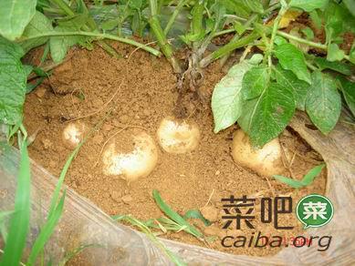 因地制宜选择马铃薯品种
