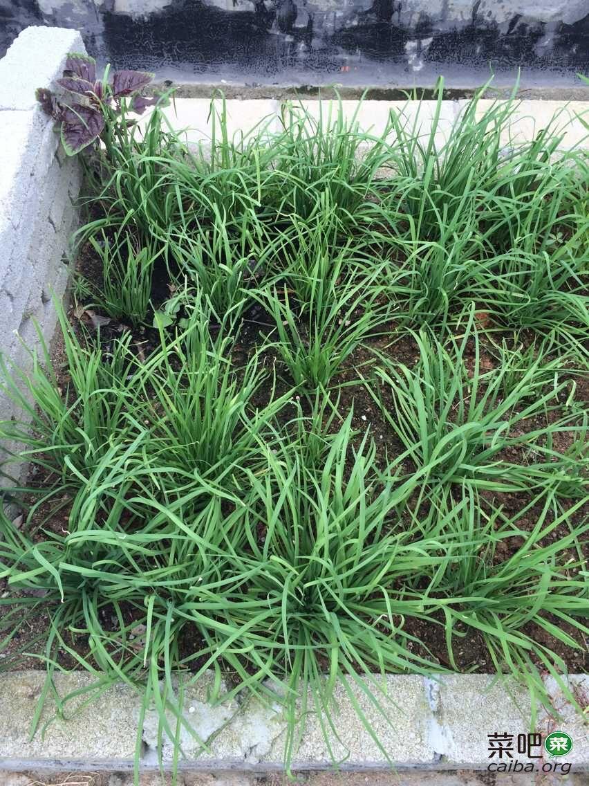 阳台种菜:韭菜的种植方法