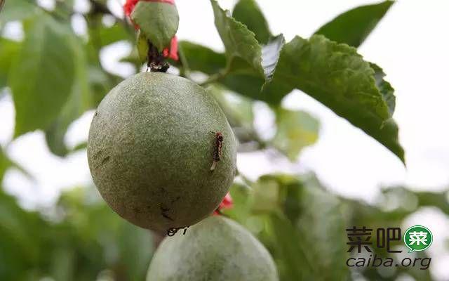传统百香果种植基地除虫防病整改方案