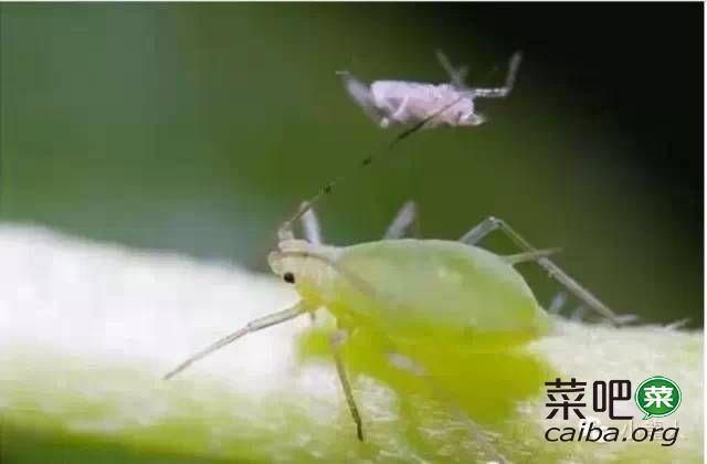 揭秘你所不知道的蚜虫