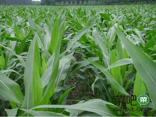 玉米什么时候施肥能高产