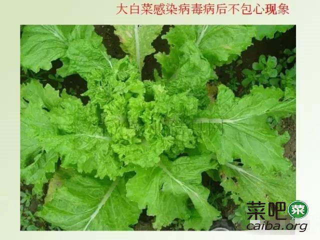 大白菜病虫害图谱及防治方案