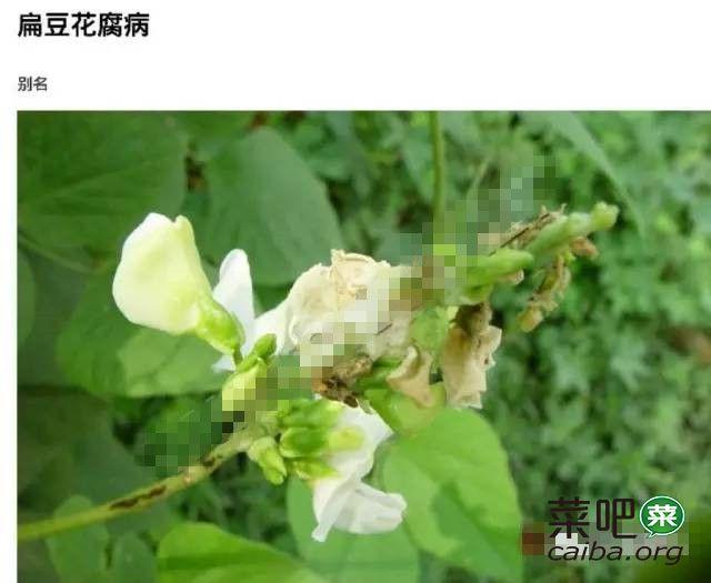 扁豆病虫害高清图谱