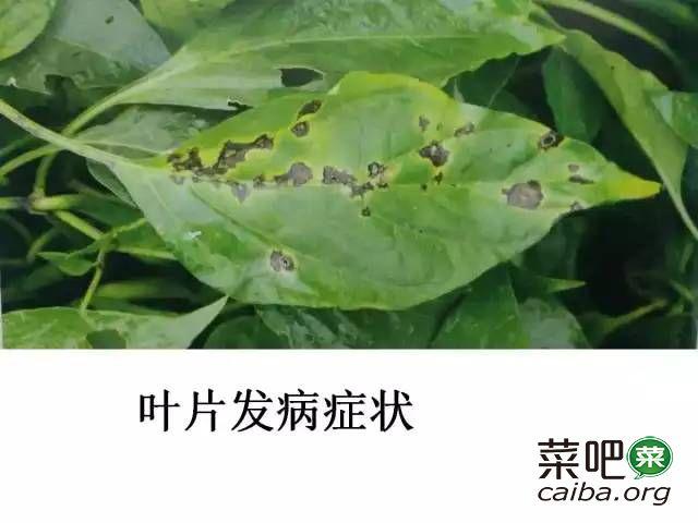 辣椒病虫害图谱及防治方案(完全版)
