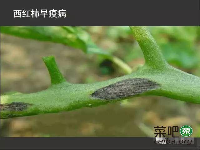 西红柿病害图谱