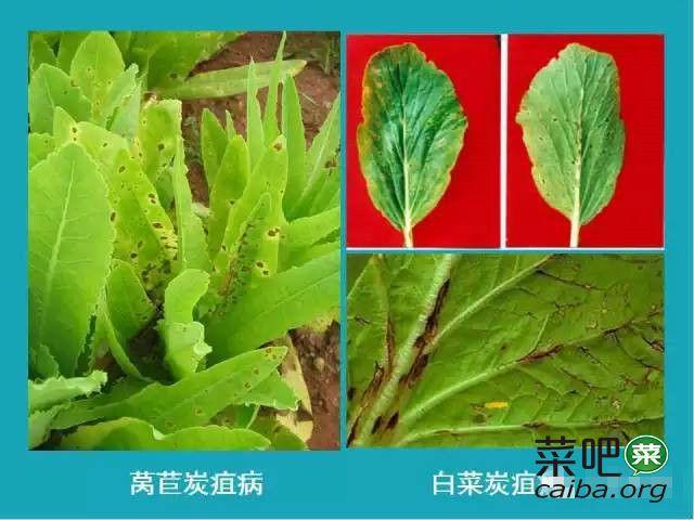 叶菜类常见病害特征对比图谱