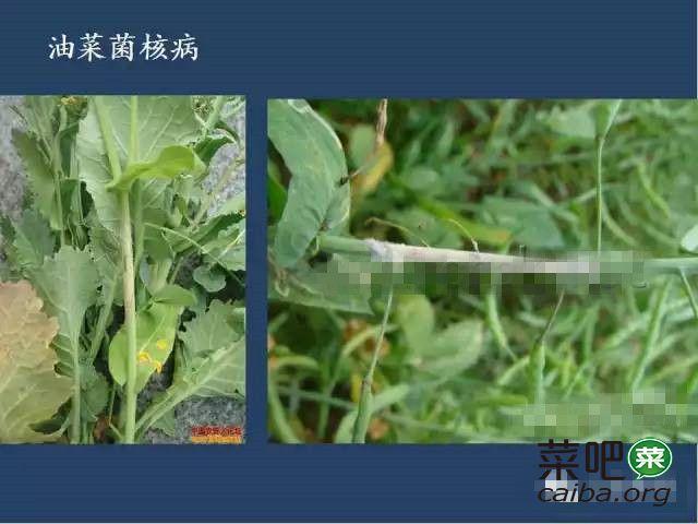 油菜病虫害高清图谱