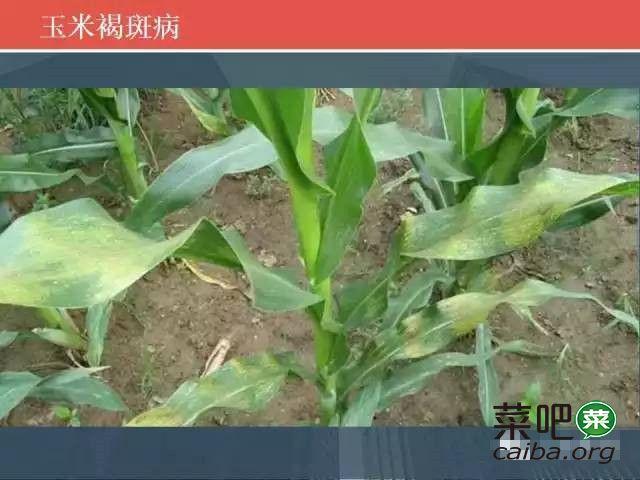 玉米病害高清图谱