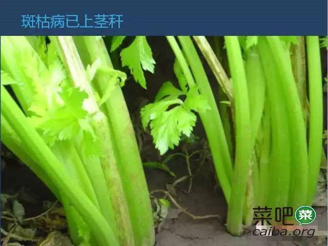 芹菜病虫害高清图谱