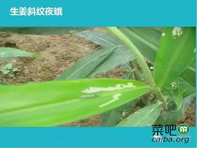 生姜病虫害高清图谱