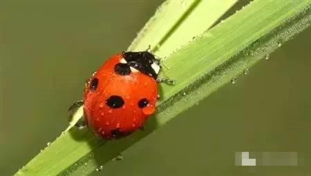 七星瓢虫:都知道它是益虫 到底能吃哪些虫?