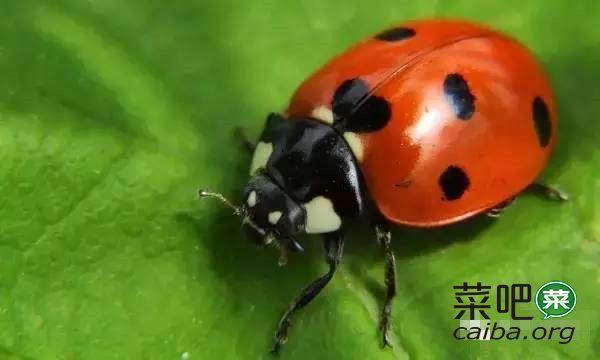 蚜虫不光没良心,还是个逃兵你知道么?