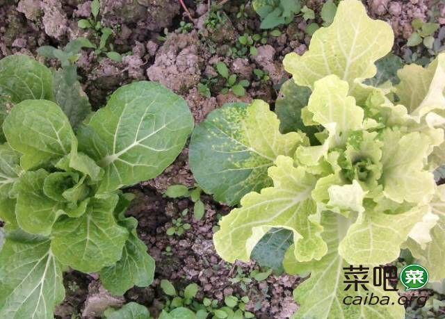 蔬菜主要肥害、药害的识别(附解救方案)