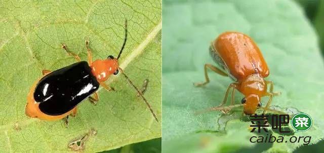 瓜类常见虫害识别及防治