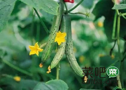 越夏黄瓜病虫害管理(最新版)