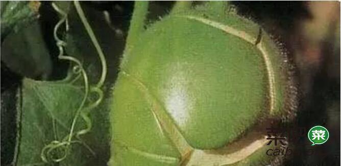 冬瓜为什么裂瓜了?