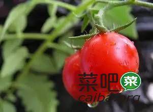 低温季节番茄如何着色好?