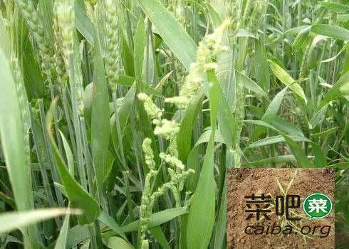 小麦主要杂草高清图谱